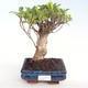 Pokojová bonsai - Ficus retusa -  malolistý fíkus PB22073 - 1/2