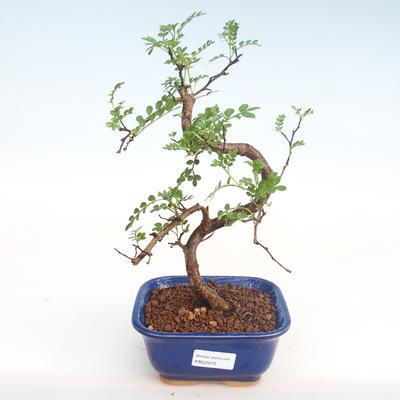 Pokojová bonsai - Zantoxylum piperitum - Pepřovník PB22075 - 1