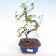 Pokojová bonsai - Zantoxylum piperitum - Pepřovník PB22075 - 1/4