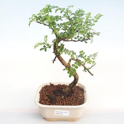 Pokojová bonsai - Zantoxylum piperitum - Pepřovník PB22076 - 1