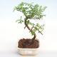 Pokojová bonsai - Zantoxylum piperitum - Pepřovník PB22076 - 1/4