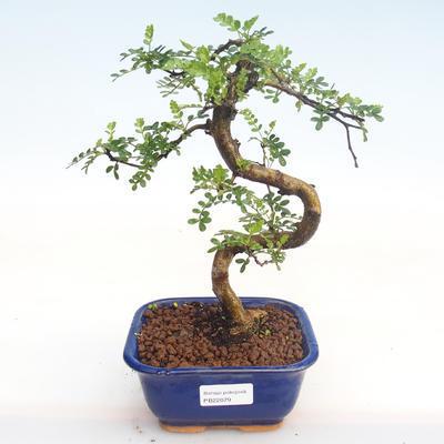 Pokojová bonsai - Zantoxylum piperitum - Pepřovník PB22079 - 1