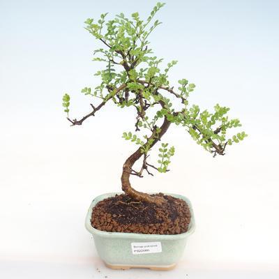 Pokojová bonsai - Zantoxylum piperitum - Pepřovník PB22080 - 1