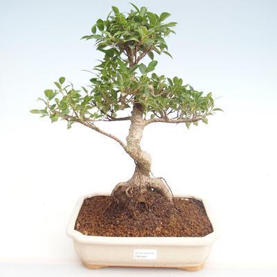 Pokojová bonsai - Ficus retusa -  malolistý fíkus PB22083 - 1