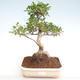 Pokojová bonsai - Ficus retusa -  malolistý fíkus PB22083 - 1/2
