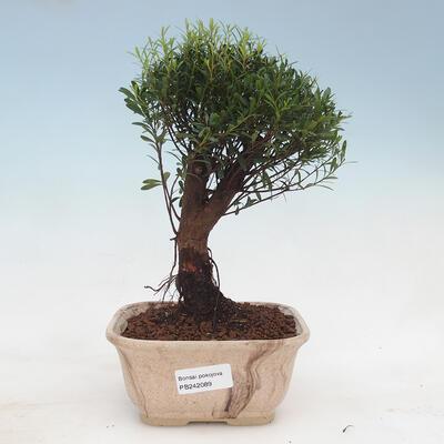 Pokojová bonsai -Ligustrum chinensis - Ptačí zob PB22089 - 1