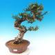 Izbová bonsai - Olea europaea sylvestris -Oliva európska drobnolistá - 1/7