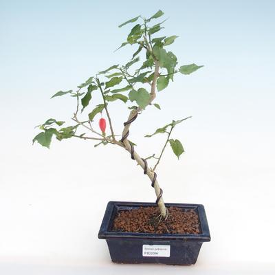 Pokojová bonsai - malokvětý ibišek PB22094 - 1