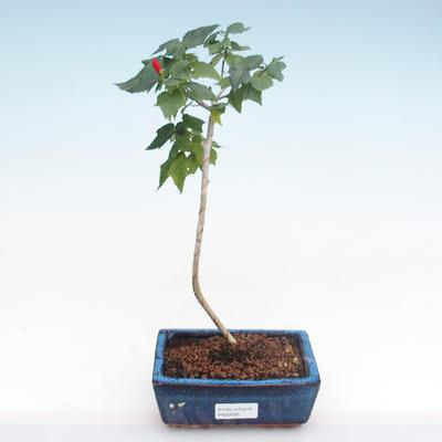 Pokojová bonsai - malokvětý ibišek PB22095 - 1