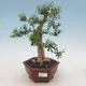 Pokojová bonsai - Buxus harlandii -korkový buxus - 1/4