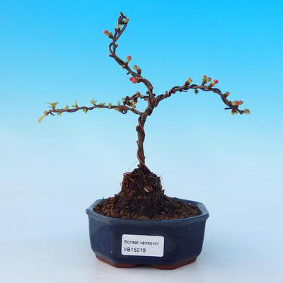Venkovní bonsai - Chaneomeles s. Red Joy - Kdoulovec - 1