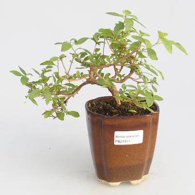 Pokojová bonsai - Hořcový stromek-Solanum rantonnetii - 1