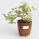 Pokojová bonsai - Hořcový stromek-Solanum rantonnetii - 1/2