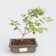 Pokojová bonsai - Duranta erecta Aurea - 1/3