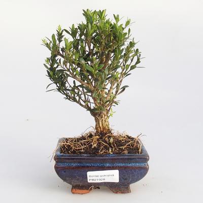 Pokojová bonsai - Buxus harlandii - korkový buxus - 1