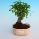 Izbová bonsai -Ligustrum chinensis - Vtáčí zob - 1/3