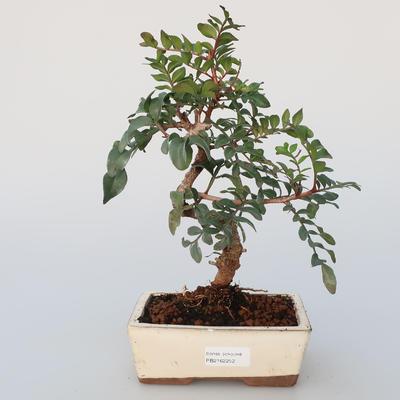 Pokojová bonsai -  Pistácie - 1