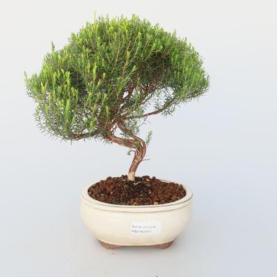 Pokojová bonsai - Coleonema - Koleonema - 1