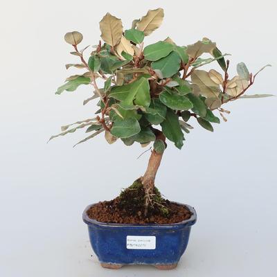 Pokojová bonsai -Eleagnus - Hlošina - 1