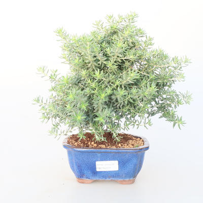 Pokojová bonsai -Westrigea sp. - Westringie - 1