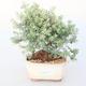 Pokojová bonsai -Westrigea sp. - Westringie - 1/3
