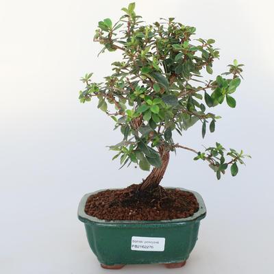 Pokojová bonsai -Wscallonia sp. - Zábluda - 1