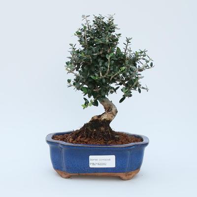 Pokojová bonsai - Olea europaea sylvestris -Oliva evropská drobnolistá - 1
