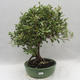 Izbová bonsai -Eleagnus - hlošina - 1/6
