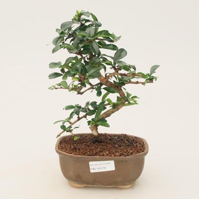 Pokojová bonsai - Carmona macrophylla - Čaj fuki - 1
