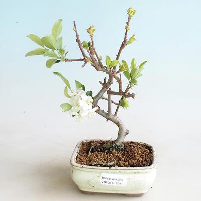 Venkovní bonsai - Malus sargentii -  Maloplodá jabloň - 1