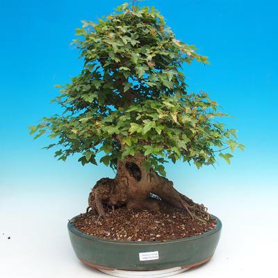 Vonkajšie bonsai - Javor Buergerianum - Javor Burgerův - 1