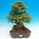 Vonkajšie bonsai - Javor Buergerianum - Javor Burgerův - 1/6