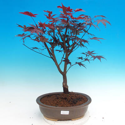 Vonkajšie bonsai - Acer palm. Atropurpureum-Javor dlaňolistý - 1