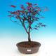 Vonkajšie bonsai - Acer palm. Atropurpureum-Javor dlaňolistý - 1/2