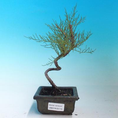 Venkovní bonsai - Tamaris parviflora Tamaryšek malolistý - 1