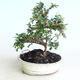 Venkovní bonsai-Cotoneaster horizontalis-Skalník - 1/2