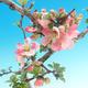 Venkovní bonsai - Chaneomeles japonica - Kdoulovec japonský - 1/3