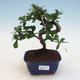 Izbová bonsai - Carmona macrophylla - Čaj fuki - 1/5