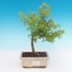Vonkajšie bonsai - Pseudolarix amabilis - Pamodřín - 1/2