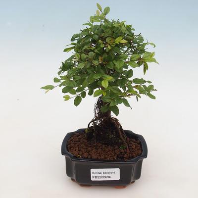 Pokojová bonsai - Sagerécie thea - Sagerécie thea - 1