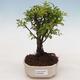 Pokojová bonsai - Sagerécie thea - Sagerécie thea - 1/4