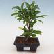 Pokojová bonsai-PUNICA granatum nana-Granátové jablko - 1/4