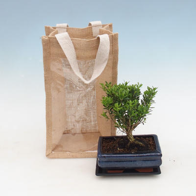 Pokojová bonsai v dárkové krabičce, Buxus harlandii-Korkový buxus