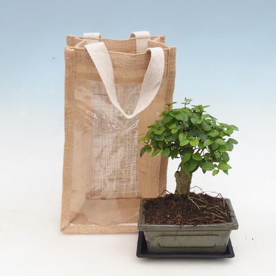 Pokojová bonsai v dárkové krabičce,  Ptačí zob - Ligustrum chinensis