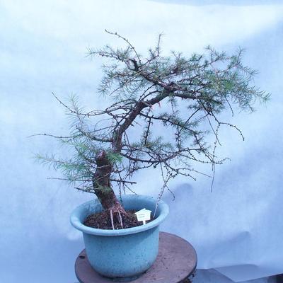 Yamadori - Modřín opadavý - Larix decidua - 1