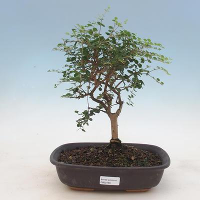 Pokojová bonsai -Ligustrum retusa - Ptačí zob - 1