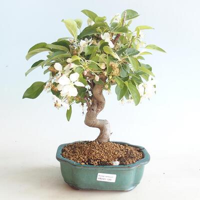 Venkovní bonsai - Malus halliana -  Maloplodá jabloň - 1