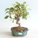 Venkovní bonsai - Malus halliana -  Maloplodá jabloň - 1/5