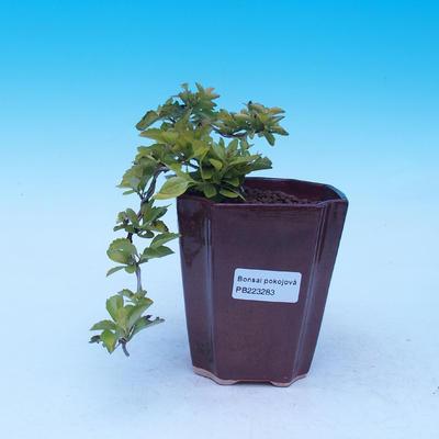 Izbová bonsai - Durant erecta Aurea - 1