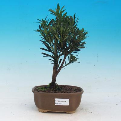 Izbová bonsai - Podocarpus - Kamenný tis - 1